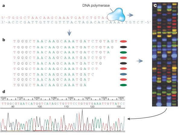 This four-panel diagram shows how DNA is sequenced using fluorescently ...